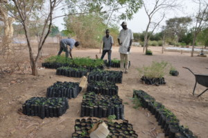 Tree seedlings ready to be planted in Diender