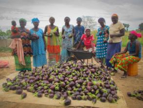 Abundant eggplant harvest in Back Samba Dior