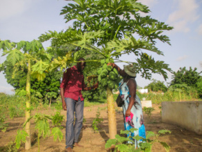 Papaya trees thrive in many garden sites