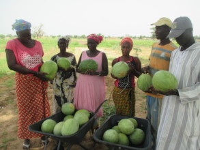Watermelon harvest in Wereyane