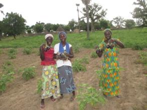 Women harvesting eggplants in Walo