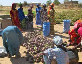 Darou Diadji's abundant eggplant harvest