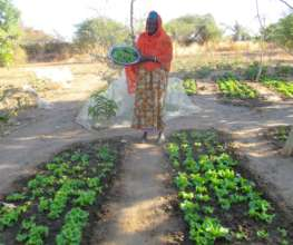 Growing lettuce in the dry season is now possible