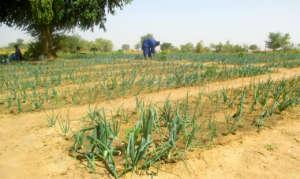 Thriving onion seedlings in Darou Diadji garden