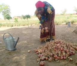 Onions are an important dry season crop in Senegal