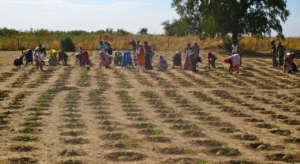 Cooperative members transplant tomato seedlings