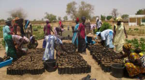 Preparing tree seedling sachets in Darou Diadji