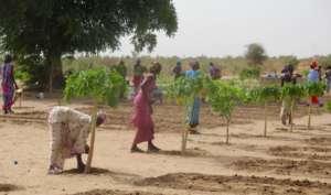 Caring for papaya trees in the Darou Diadji garden