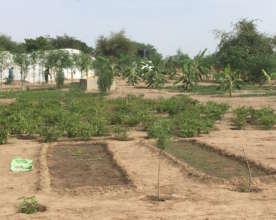 Banana trees in the Darou Diadji garden