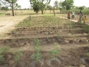 Thriving tomato plants in Walo