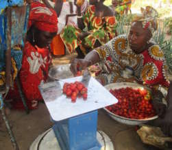 Cooperative members weigh the tomato harvest