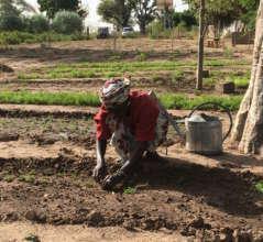 Transplanting mint seedlings in Walo