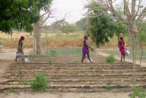 Watering newly planted vegetable seedlings in Walo