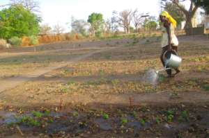 Seedlings are watered twice daily in hot weather