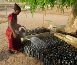 Seedlings are hand-watered during the dry season