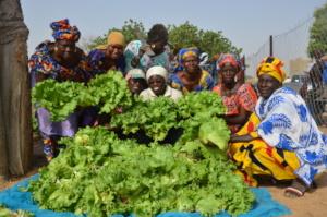 Lettuce harvest in new community of Mbossedji