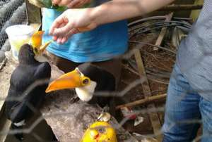 Hungry toucans