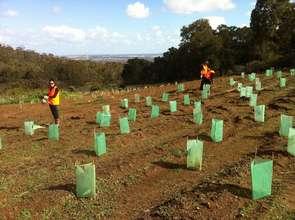 Volunteers planting trees for cockatoo habitat