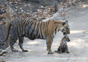 Community projects are protecting wild tigers