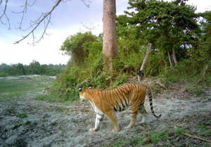 A Kaziranga tiger caught on camera for the census