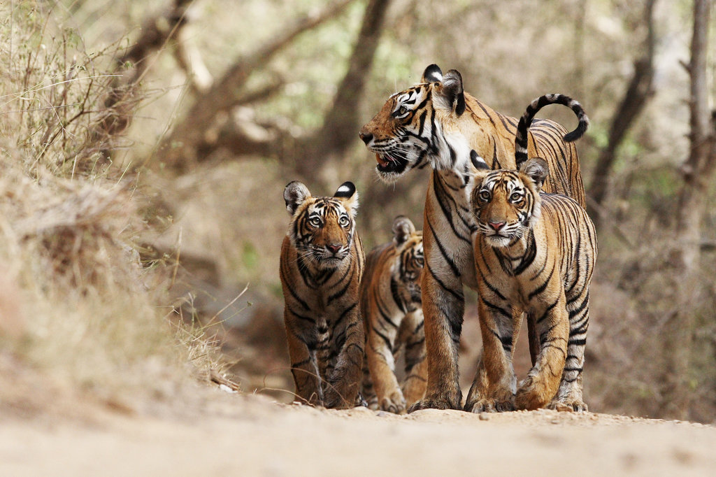 Protecting Tigers