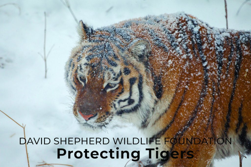 Reports on Protecting Tigers - GlobalGiving