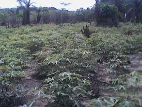Cassava Growth