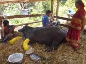 Checking in on Damodar's buffalo