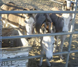 Rescue Burros served through WFLF Hay Drive