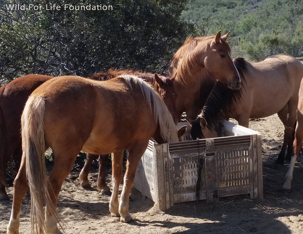 WFLF Hay Drive to Aid Horses and Burros in Need