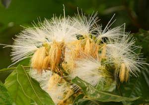 Inga Flowers - they bloom twice a year!