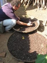 Team Member Jones Examining Local Coffee Drying