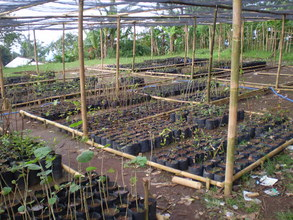 Native Plant Nursery at Jepara Forest Conservancy