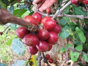 Arabica Coffee in Kunir Village