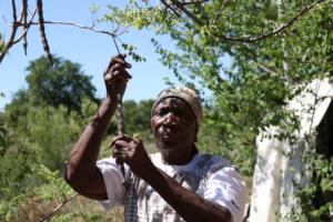 Gogo Mabuza collecting moringa seeds