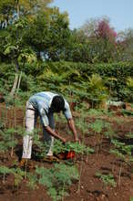 Jabulani tending moringa saplings.