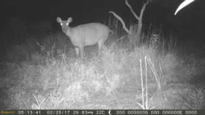 Sambar Deer caught by the camera trap!