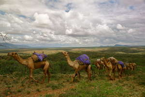 The camel clinic