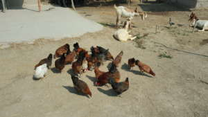 24 chicken 20 female and 4 male distributed to 300