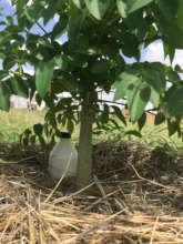 Strong Healthy Young Moringa Tree