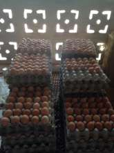 eggs collected