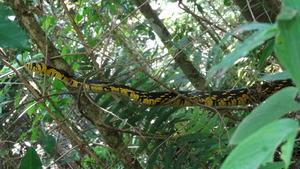 Spilotes pullatus (caninana) Tropical Rat Snake.