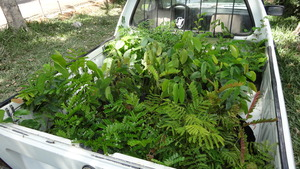 Pick up loaded with saplings.