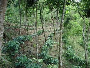 Inside tree corridor with coffee plants.