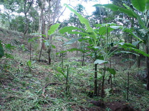 4 years old agroforestry plantation.