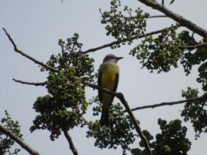 Tropical Kingbird.