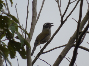 Green-winged Saltator. A famous songbird.