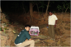 Releasing the rescued Asian Palm Civet