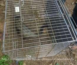 Palm Civet