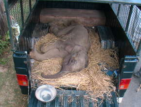 Orphaned elephant calf being transported in MVS